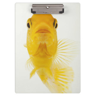 Also known as Comet-tailed goldfish. Hardy Clipboards
