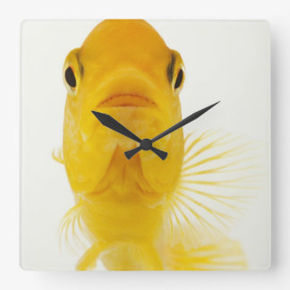 Also known as Comet-tailed goldfish. Hardy Wallclock