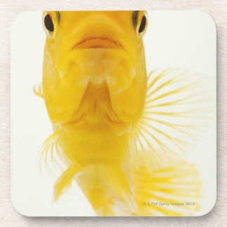 Also known as Comet-tailed goldfish. Hardy Coaster