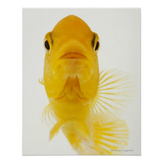 Also known as Comet-tailed goldfish. Hardy Posters