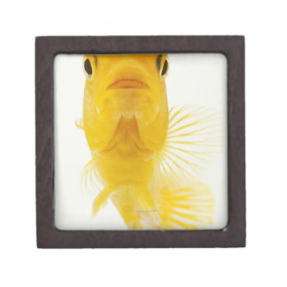 Also known as Comet-tailed goldfish. Hardy Premium Jewelry Boxes