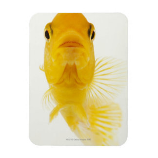 Also known as Comet-tailed goldfish. Hardy Flexible Magnet