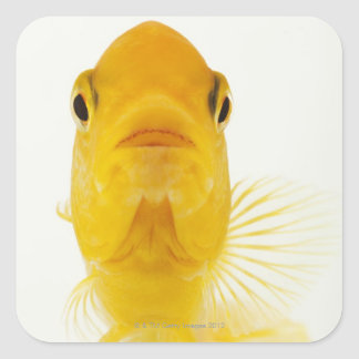 Also known as Comet-tailed goldfish. Hardy Square Stickers