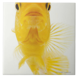 Also known as Comet-tailed goldfish. Hardy Ceramic Tile