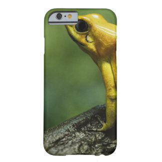 also known as Golden Dart Frog; endemic to the Barely There iPhone 6 Case