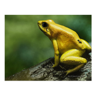 also known as Golden Dart Frog; endemic to the Postcard