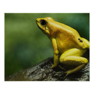 also known as Golden Dart Frog; endemic to the Poster