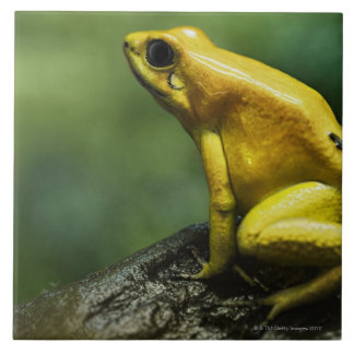 also known as Golden Dart Frog; endemic to the Ceramic Tiles