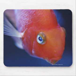 Also known as the Blood Parrot or Bloody Parrot. Mouse Pad
