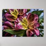 Alstroemeria Peruvian Lily flower poster print