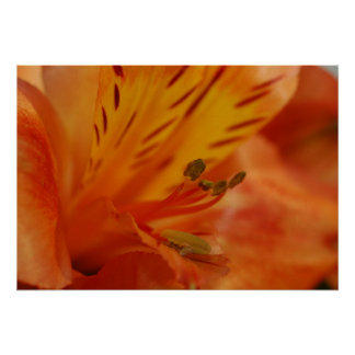 ALSTROEMERIA POSTER/PRINT POSTER