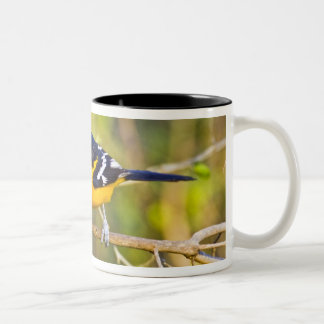 Altamira Oriole Icterus gularis), adult in Two-Tone Coffee Mug