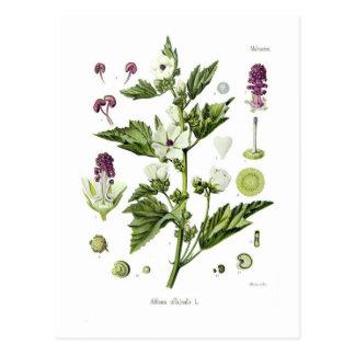 Althaea officinalis postcard