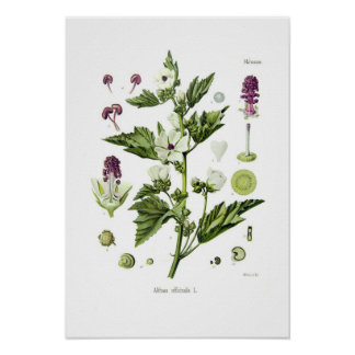 Althaea officinalis poster