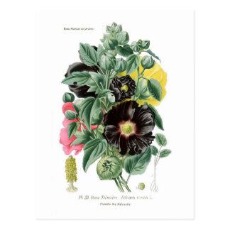 Althaea rosea (Hollyhock) Postcard