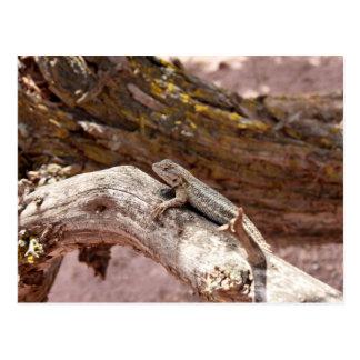 Alto lagarto del desierto en la postal del enebro