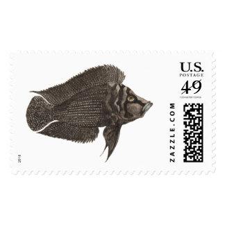 Altolamprologus calvus Black Postage Stamp