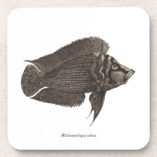 Altolamprologus calvus  - Set of 6 Coasters
