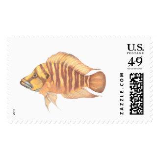 Altolamprologus compressiceps Orange Postage Stamp