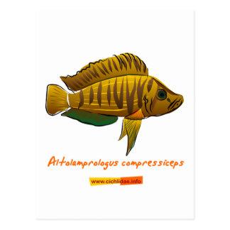 Altolamprologus compressiceps postcard