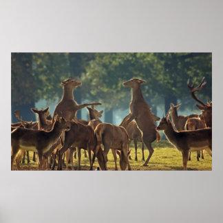 Alzar el ciervo común de la gama poster