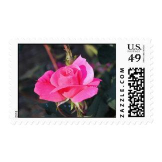'Amanda's Rose' Postage Stamps