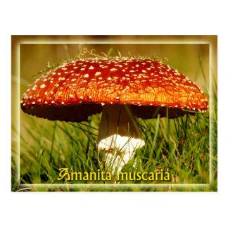 Amanita muscaria postcard