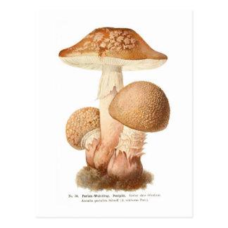 Amanita pustulata postcards