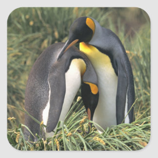 Amantes de los pingüinos de rey pegatina cuadrada