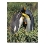Amantes de los pingüinos de rey postales