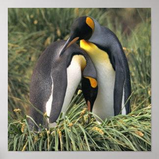 Amantes de rey pingüino poster