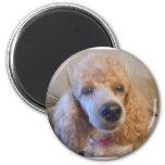 Amantes del mascota del caniche imanes para frigoríficos