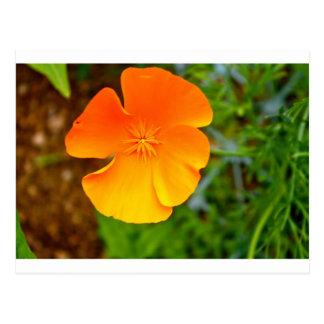 Amapola anaranjada postales