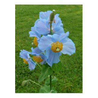 Amapola azul (Meconopsis) Postal