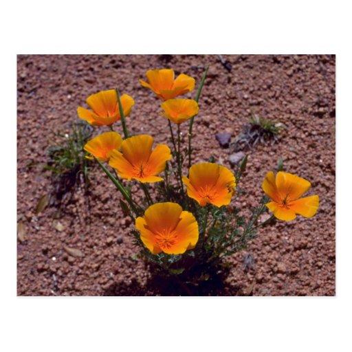 Amapola de California, flores del rojo de Arizona Tarjeta Postal