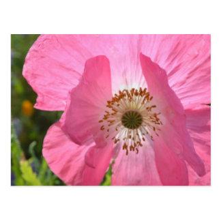 Amapola de Islandia rosada del verano Tarjeta Postal