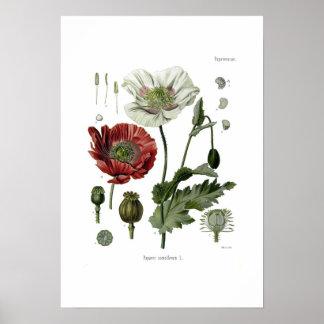 Amapola de opio póster