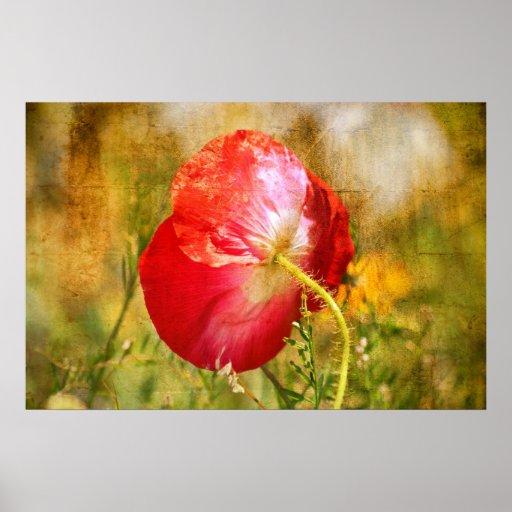 Amapola roja del verano póster