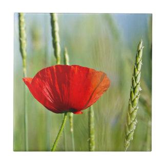 Amapola roja en el campo de maíz azulejos