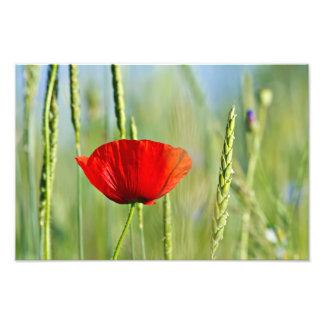 Amapola roja en el campo de maíz verde fotografía