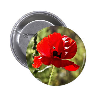 Amapola roja (rhoeas del Papaver) Pin