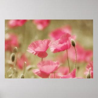 amapola rosa especie posters