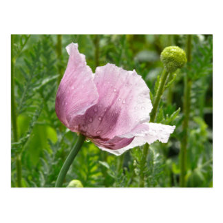 Amapola rosada dulce con las gotas de agua postales