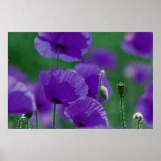 amapola violeta especie impresiones