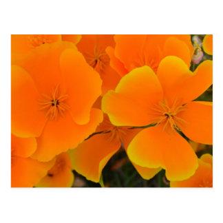 Amapolas anaranjadas en postal de la primavera