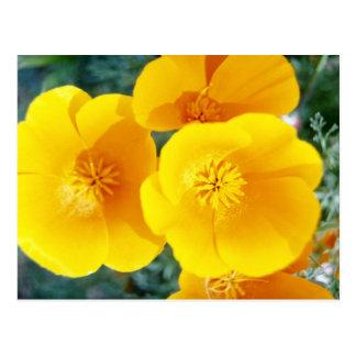 amapolas de California amarillas en flores de la p Tarjeta Postal