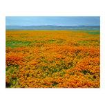 Amapolas de California en flores de la plena flora Tarjeta Postal