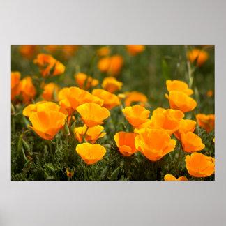 Amapolas de California, parque de estado de Póster