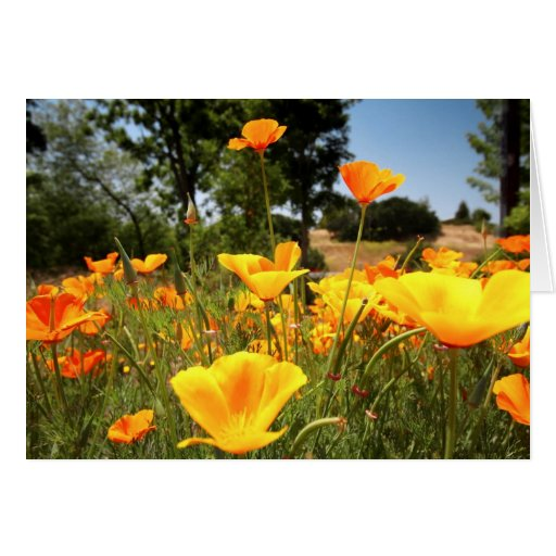 Amapolas de California Tarjetón