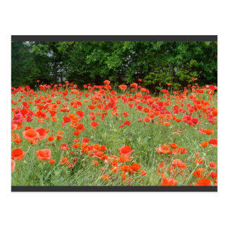 Amapolas en primavera tarjetas postales